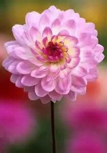 Water Lily Dahlia