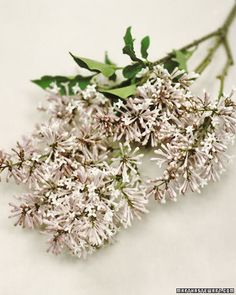 'Miss Kim' Korean lilac (S. patula) is a late-blooming lilac reaching feet tall, with spicy-scented, blue-lavender flowers and reddish fall foliage. Tiny Flowers, Lavender Flowers, Large Flowers, Yellow Flowers, Tall Shrubs, Syringa Vulgaris, Lilac Bushes, Japanese Tree