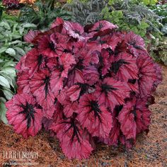 Begonia T Rex™ 'Ruby Slippers' - One of the most fantastic Begonias we have ever seen! Deep ruby red leaves are super glossy with a saucy, little black stripe on the mid rib. Excellent for a cooler greenhouse, but performs just as well with heat.