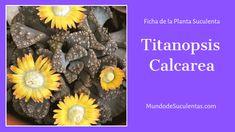 Titanopsis Calcarea - Fichas de Plantas Suculentas Euphorbia Milii, Echeveria, Cactus Y Suculentas, Air Plants, Succulents, Cacti, Virginia, Garden Ideas, Cactus Names