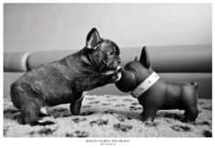 """""""Anyone in there?"""" French Bulldog Puppy and a Plastic Doppelgänger."""