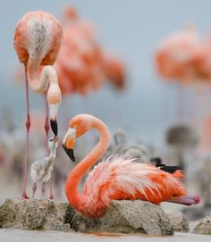 Flamingos get their salmon coloring from the fish they eat, salmon