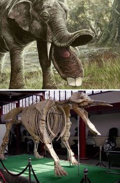The ancient elephant Platybelodons had a jaw shaped like a shovel which ended in two massive teeth.