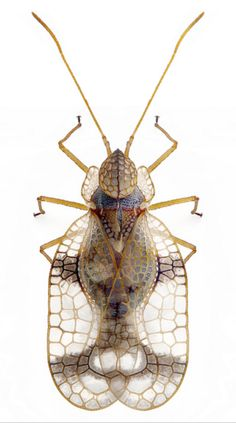 Stephanitis pyrioides - lace bug, eats azaleas and pieris More