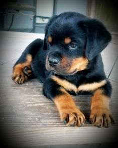 Rottweiler Love, Rottweiler Puppies, Cute Puppies, Cute Dogs, Deadly Animals, English Bulldog Puppies, Cute Little Animals, Doge, Rescue Dogs