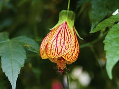 Spotted Flowering Maple Abutilon Pictum Care And Propagation