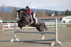 Jumping Clydesdale