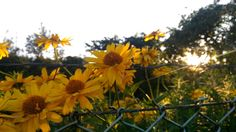 Yellow flower - Clickasnap