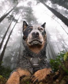 Oh, how I love a heeler More