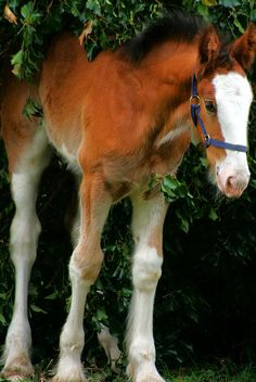Shire filly, one beautiful big baby!
