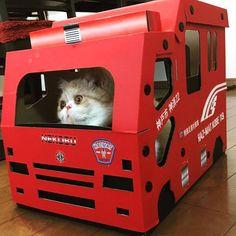 つくね隊長@消化班 #いただきもの #消防士 #神戸市 #今日のつくね #エキゾ #エキゾチック #エキゾチックショートヘア #ねこ #ネコ #猫 #cat #愛猫 #にゃんすたぐらむ #ねこすたぐらむ #instacat #catstagram #ねこ部 #ねこ好き #スタペグラム #pelotto