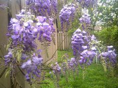 My backyard wisteria Wisteria, Backyard, Gardening, Spring, Plants, Patio, Lawn And Garden, Backyards, Plant
