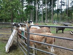 Old llamas waiting for breakfast
