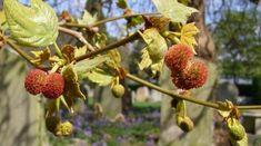 Un copac care poate provoca alergii grave continua sa fie plantat masiv de primarii din toata Romania - Frunza Verde Strawberry, Green, Strawberries