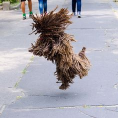Puli Dog Breed Information Puli Dog Breed, Cute Funny Animals, Cute Dogs, Mop Dog, Akc Breeds, Herding Dogs, Dog Activities, Dog Show, Dog Pictures