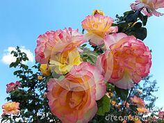 Photo about Multi colored roses on blue sky. Image of floral, bloom, bush - 148642831 Roses, Bloom, Sky, Yellow, Floral, Flowers, Plants, Pink, Image