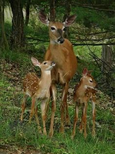 Doe with twin fawns. RESEARCH #DianaDee - ANIMALS OF A DIFFERENT - https://www.pinterest.com/DianaDeeOsborne/animals-of-a-different/ - Twins are the norm in most populations, but 15 to 20% of does bear #triplets when deer numbers are in balance with high-quality habitat- safety and a lot of food. #DEER #FOREST