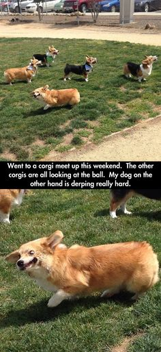 Funny pictures about Corgi Special Meet Up. Oh, and cool pics about Corgi Special Meet Up. Also, Corgi Special Meet Up photos. Funny Animal Memes, Cute Funny Animals, Dog Memes, Funny Animal Pictures, Funny Cute, Funny Dogs, Cute Dogs, Funny Memes, Corgi Funny