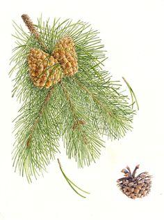 Pinus contortus (Lodgepole pine) - watercolor by Margaret Best