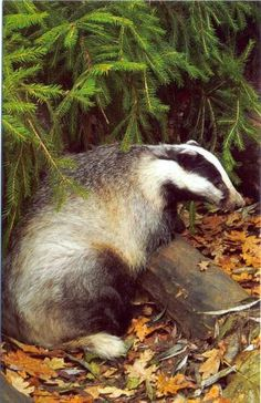 A badger from Belarus -  received via Postcrossing.com