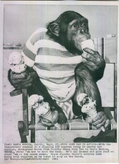 Santa Monica CA Chimpanzee Bosco Enjoying Ice Cream Cones in the near 100 degree heat. Bosco was from the Pacific Ocean Park Zoo. Photographer Unknown. Dated 9/25/1963.