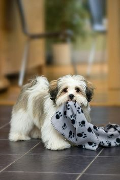 -My Blankie! Our dog Chevy looks almost exactly like this and has the same blankie lol #Havanese