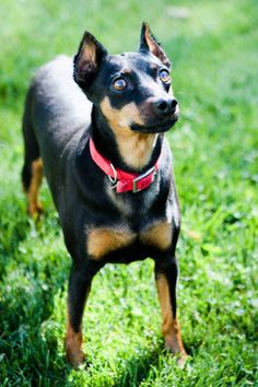 Vegas. Four-year-old male Miniature Pinscher Mix for adoption in Lake Odessa, Michigan. Click to see his page on PetFinder.