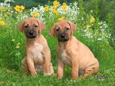 eesian Ridgeback ...this is what Tim brought home the other day