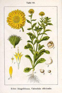 Echte Ringelblume, Calendula offizinales, Deutschlands Flora in Abbildungen (1796)