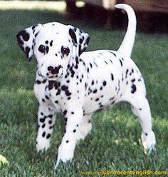 10 Best Mini Dalmatian I Want One Images Dalmatian Puppies