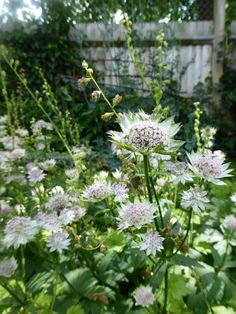 How For Making Your Landscape Search Excellent Astrantia-Shaggy-Daisy-Garnett-Gardenista Big Garden, Summer Garden, Garden Path, Garden Bed, White Lilac Tree, Fruit Cage, Lean To Greenhouse, Astrantia, Mulberry Tree