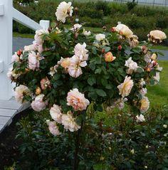 kordes roses larissa rekord roses the most beautiful. Black Bedroom Furniture Sets. Home Design Ideas