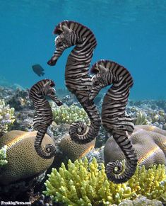 ARE THESE REAL!!!!? BC if they are they will be in our aquarium ASAP!! OMG Seahorse Zebras