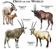 Oryx of the World by rogerdhall