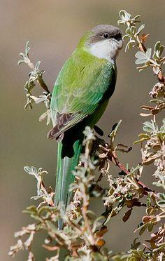 La catita aimará (Psilopsiagon aymara) es una especie de ave de la familia Psittacidae. Se encuentra en Argentina, Bolivia y Chile. Sus habitats naturales son: matorral tropical o subtropical de gran altitud.