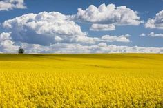Photographic Print: Denmark, Jutland, Odum, Rapeseed Field, Springtime by Walter Bibikow : 24x16in