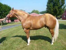 PowerfulLegacy Most Beautiful Horses, Pretty Horses, Animals Beautiful, Palomino, American Quarter Horse, Quarter Horses, Different Horse Breeds, Horse Photos, Working Dogs