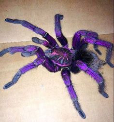 Brazilian Pinkbloom Tarantula (Pamphobeteus platyomma/Vitalius wacketi) found in Brazil and Ecuador; it grows up to 3,54 inches, and the mal...