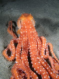 What do you call a neurotic octopus? A crazy, mixed-up squid! And more #squid and #octopus #jokes