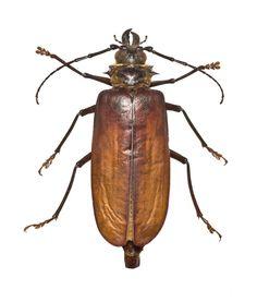 Acanthophorus serraticornis, longhorn beetle, dried specimen