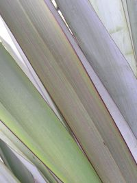 Leaves of harakeke cultivar 'Ngaro'. Image - Sue Scheele