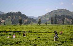 Women collect tea in Rwanda - land of a Thousand Hills. Женщины собирают чай на Руандийских полях. Практически в самом сердце Африки находится страна непревзойденной красоты — Руанда, земля тысячи холмов. Извилистый пейзаж, усыпанный чайными плантациями, величественные горы и вулканы, искрящиеся озера и необыкновенные флора и фауна.