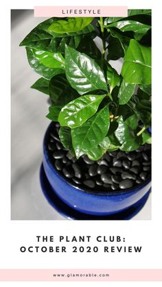 How to grow a coffee tree aka Coffea Arabica at home! #coffeaarabica #coffeetree #houseplants #greenthumb Monthly Subscription, Subscription Boxes, Coffea Arabica, Pretty Soon, Healthy Wraps, Plant Box, Coffee Plant, Ceramic Coffee Cups, Cutest Thing Ever