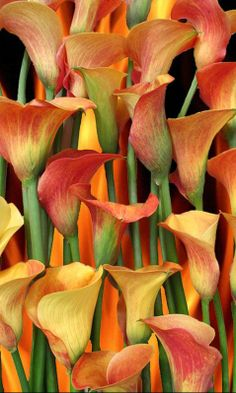 ~~Mango Calla Lilies | Oregon Coastal Flowers~~