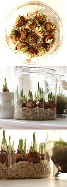 Forcing Paperwhites bulbs in water by estela