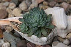 A tiny shell planter for a tiny succulent. This can work inside or out. I like the idea of a whole row of them along a backyard ledge. Succulents In Containers, Cacti And Succulents, Planting Succulents, Succulent Gardening, Succulent Arrangements, Garden Art, Garden Plants, Garden Walls, House Plants
