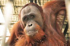 15 - Mongki,  Nyaru Menteng Orangutan Release Candidate Profiles   August 16-17, 2013     http://orangutan.or.id/nyaru-menteng-orangutan-release-candidates-profiles-august-16-17-2013/
