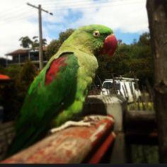 LOST ALEXANDRINE: 13/09/2015 - Mount Martha, Victoria, VIC, Australia. Ref#: L21176 - #ParrotAlert #LostBird #LostParrot #MissingBird #MissingParrot #LostAlexandrine #MissingAlexandrine