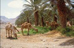 Camels, Ein Gedi nature preserve