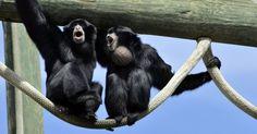 Em terra firme, o animal mais barulhento é o macaco bugio. O grito desse primata pode ser ouvido a mais de 4,5 quilômetros de distância